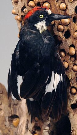 An acorn woodpecker will be on display at Saturday's event at the Wheeler Gorge Visitor Center.