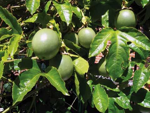 Passiflora Edulis Habitat Passiflora Edulis Click to