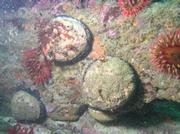 How many abalone (pictured here) are left at San Miguel Island? That's the question research divers are trying to determine in surveys, one of which was scheduled for this summer.