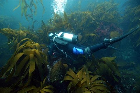 How many abalone are left at San Miguel Island? That's the question research divers are trying to determine in surveys, one of which was scheduled for this summer.
