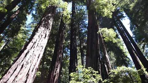 Redwoods reach to the sky.
