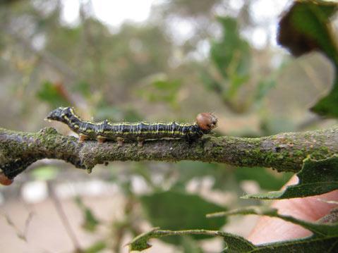 Oak Worm