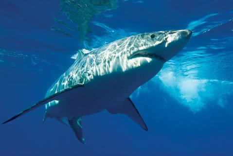 Carcharodon carcharias is the Latin name for the great white shark and actually means the &quot;Jagged-Toothed One.&quot;
