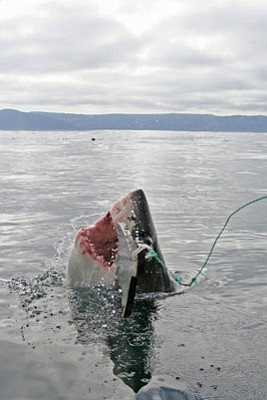 GOOD SHARKS, BAD SHARKS:  Most of the sharks that call the S.B. Channel home aren't anything like the toothy predators of your nightmares-with the exception of the great white.