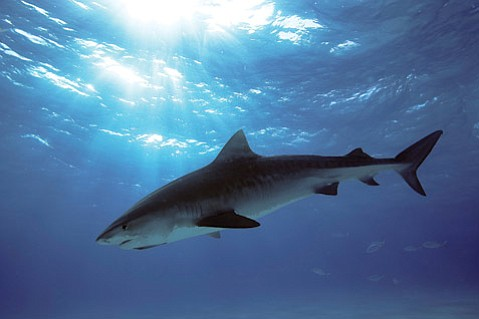 SHARK-BITTEN, LOVE-SMITTEN:  Notorious for attacks on swimmers, it was a tiger shark  that took a chomp out of Aaron.