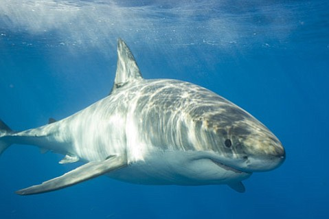 SOMEONE IS WATCHING YOU:  Despite numerous great white sharks, such as this one, cruising through the Santa Barbara Channel every year, there have only been eight confirmed shark attacks in Santa Barbara County waters during the past four decades.