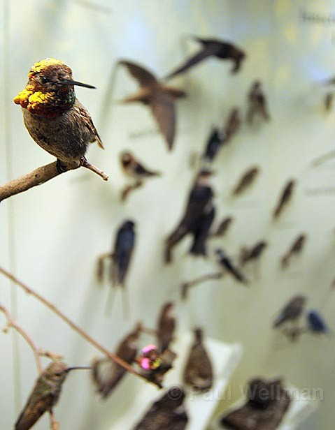 IT'S FOR THE BIRDS: Anna's hummingbird is just one of nearly 400 bird species once again on display at the S.B. Museum of Natural History, which reveals the new Dennis M. Power Bird Hall this weekend after three years of planning and design.