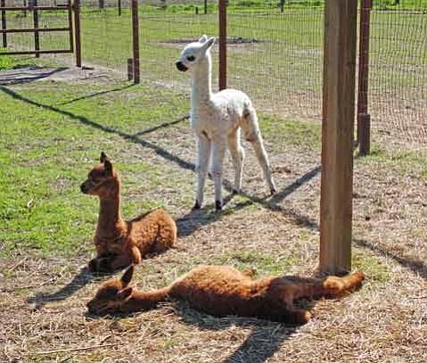 2nd Annual National Alpaca Farm Day