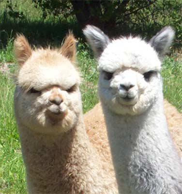 South American Llama  Letters