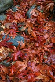 Sycamore leaves turn yellows and reds in late fall and are especially beautiful when wet.