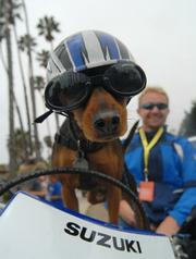 Every year, Santa Barbara's Big Dog Parade shows us who's too cool for school.