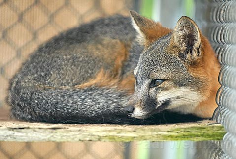 Comeback story:  Captive breeding programs for the federally endangered Channel Islands fox (pictured) will be shutting down early next month thanks to a steady upswing in the mammals' population.