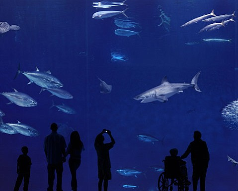 EDUCATION OR ENTERTAINMENT? Since 2004, the Monterey Bay Aquarium has been showing off great white sharks as part of its Outer Bank exhibit. Aquarium spokespeople say the program has been monumental for understanding the species and getting humans more supportive of saving sharks, but is the display also giving an incentive for fishermen who work the Santa Barbara Channel to hunt the beasts?