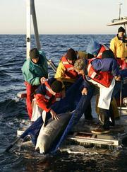 Many scientists, some involved with the Pelagic Shark Research Foundation, are also involved in studying the species.