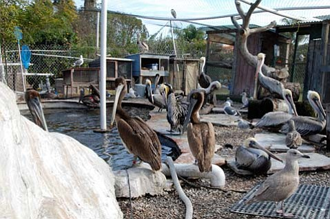 Pelicans being cared for at SBWCN Seabird pond.