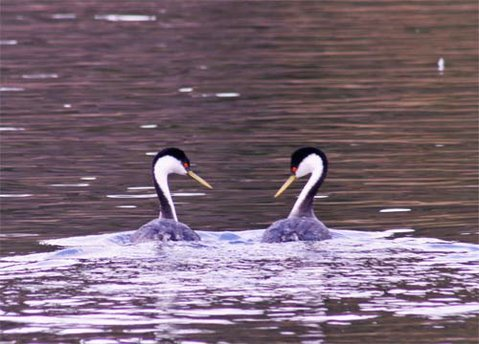 A pair of grebes at Lake Cachuma.