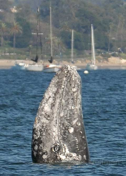 SB's guest gray whale.