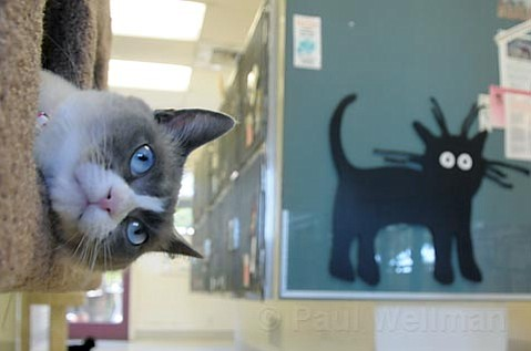 Beauty is one of the many adoptable cats at ASAP.