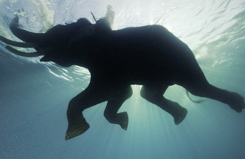"""Underwater Elephants"":  Rajan the Elephant swims with his trainer in the Andaman Islands in India (Dec. 2008)"