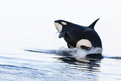 The Ocean Adventures series starts next Wednesday on PBS with an examination of beluga whales and follows up with a look at killer whales.