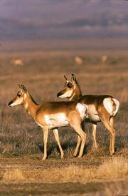 Roving herds of pronghorn antelope.