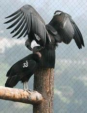 California condors at the Santa Barbara Zoo