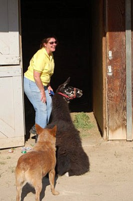 A llama being shepherded to safety.