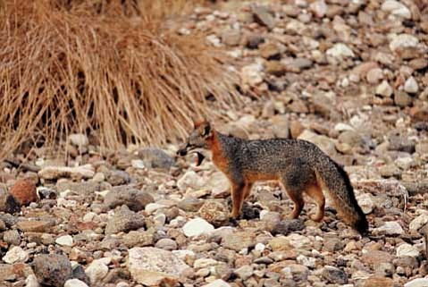 <strong>FOXY LADY:</strong>  The best place to see an island fox? The rugged and windswept San Miguel Island, of course.