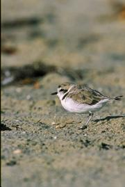 <strong>SHOREBIRD BINGO:</strong>  The rare and endangered snowy plover is best witnessed at Coal Oil Point near UCSB.