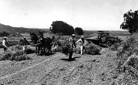 A 1909 photograph of flower seed production in the Lompoc Valley.
