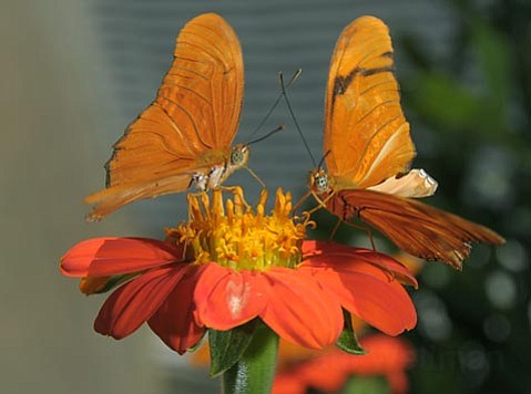 A pair of Julia Heliconian butterflies