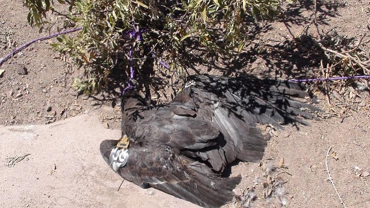 The four-year-old condor was healthy and one of the more dominant ones in its age group, suggesting great breeding potential.