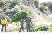 Law enforcement officials remove illegal marijuana plants from the Los Padres National Forest.