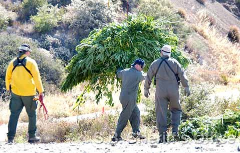 <strong>Weed killers:</strong>  Sheriff's deputies and Forest Service rangers on July 24 cleared an estimated $75 million worth of marijuana being grown in Los Padres National Forest.