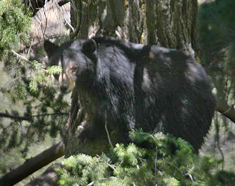 A black bear in the Dick Smith Wilderness.