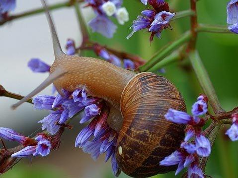 The California garden snail, <em>Helix aspersa</em>: elegant, tasty, and destructive.