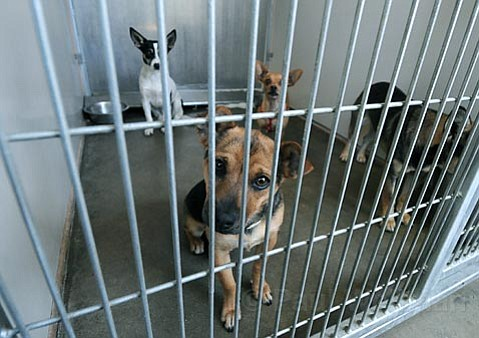 <strong>Pooch plethora:</strong>  Dogs like these at the Santa Barbara County Animal Shelter in Goleta have been overrunning the capacity of the shelter, causing the county to consider a spay/neuter ordinance.
