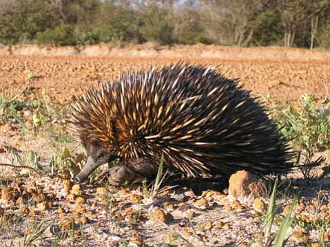This short-beaked echidna (<em>Tachyglossus aculeatus</em>) is a member of one of two families that currently make up the strangest group of mammals alive, the monotremes.