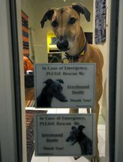 Kia, a 2 year-old greyhound and Goleta transplant by way of Texas checks to see who is at the front door