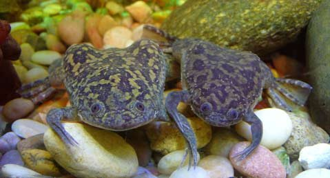 The African clawed frog (<em>Xenopus laevis</em>) serves as a carrier for the chytrid fungus that is causing mass amphibian extinctions. Transported commercially by humans across the world, these frogs may have significantly helped spread the fungus.