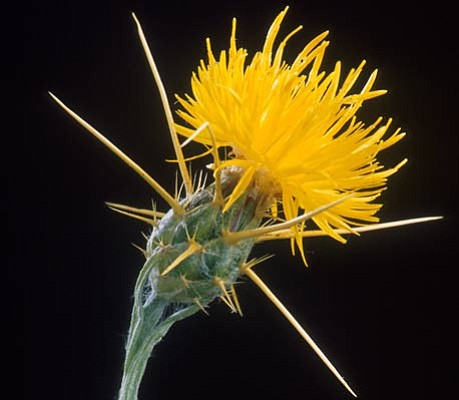 Close-up of Yellow Star-thistle <em>Centaurea solstitialis</em>.