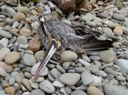 A deceased brown pelican found at El Capitan Beach on Friday, February 19.