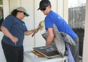 Julia Parker, Director of Animal Affaris, and Sam Bankston, Animal Care Assistant, weigh a rescued brown pelican at the Santa Barbara Wildlife Care Network.