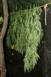 Every stage of growth, from germination to drying (seen here), is carried out in the secluded sites.