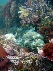 Lingcod on Naples Reef.