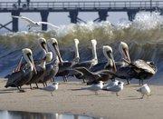 Storm Pelicans, Goleta