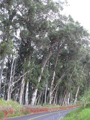 The blue gum (<em>Eucalyptus globulus</em>) has become embedded in much of California's scenery, though how this came to be is a cautionary tale that emphasizes the importance of thinking before planting.