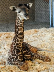 Daniel, a Masai giraffe born at the Santa Barbara Zoo on January 9