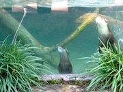 Santa Barbara Zoo's Asian Small-Clawed Otters take their first deep pool swim