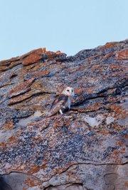 A barn owl alights on a slab of sandstone.